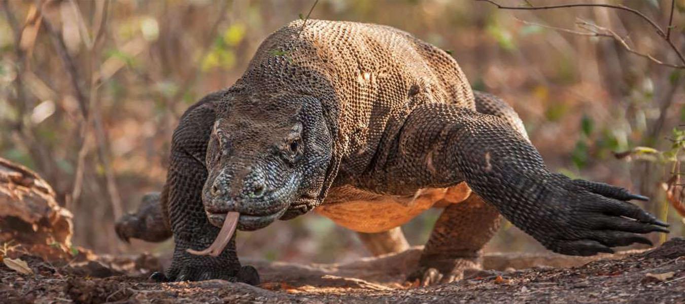Amazing Komodo Dragon